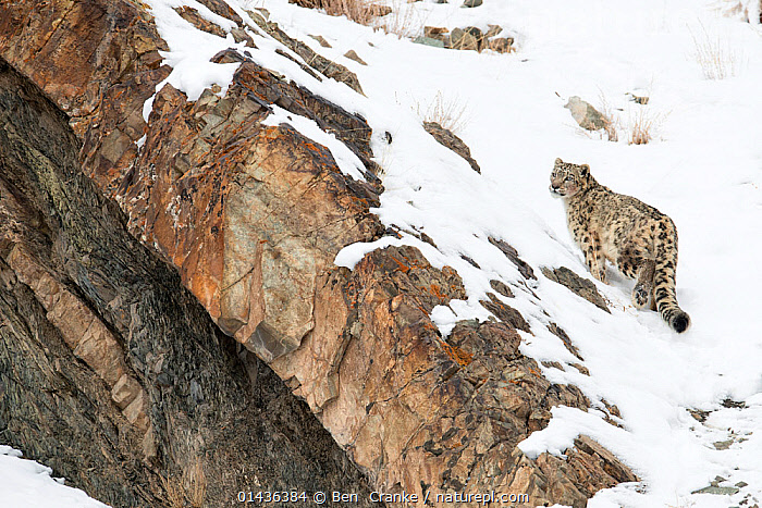 Snow Leopard (Uncia uncia) walking down snow covered slope, Hemas National Park, Ladakh, India  ,  ASIA,BIG-CATS,biodiversity hotspot,biodiversity hotspots,CARNIVORES,ENDANGERED,felidae,HABITAT,Himalaya,himalayas,india,INDIAN-SUBCONTINENT,LEOPARDS,MAMMALS,NP,RESERVE,SNOW,VERTICAL high1314,PANTHERA UNCIA,Animal,Vertebrate,Mammal,Carnivore,Cat,Snow leopard,Animalia,Animal,Wildlife,Vertebrate,Mammalia,Mammal,Carnivora,Carnivore,Felidae,Cat,Uncia,Snow leopards,Uncia uncia,Snow leopard,Ounce,Panthera uncia,Felis Urbis,Walking,On The Move,Alone,Solitude,Solitary,Nobody,Sloping,Edge,Edges,Temperature,Cold,Asia,Indian Subcontinent,India,High Angle View,Rear View,Mountain,Rock,Snow,Outdoors,Open Air,Outside,Day,Nature,Natural,Natural World,Wild,Animals In The Wild,Animal In The Wild,Wild Animal,Wild Animals,Reserve,Protected area,National Park,Elevated view,Moving,Ladakh,Gradient,Uphill,Endangered species,threatened,Endangered  ,  Ben  Cranke