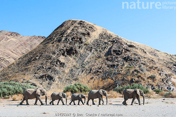 African elephant (Loxodonta africana) herd walking in procession, Kaokoveld Desert, Namibia, AFRICA,arid,DESERTS,EAST-AFRICA,ELEPHANTS,ENDANGERED,GROUPS,HABITAT,LANDSCAPES,MAMMALS,namibia,PROBOSCIDS,PROFILE,VERTEBRATES,Vulnerable,WALKING high1314,LOXODONTA AFRICANA,Animal,Vertebrate,Mammal,Elephant,African elephants,African elephant,Animalia,Animal,Wildlife,Vertebrate,Mammalia,Mammal,Proboscidea,Elephantidae,Elephant,Loxodonta,African elephants,Loxodonta africana,African elephant,Moving After,Following,Follow,Follows,Walking,Journey,On The Move,Togetherness,Close,Together,Herds,Group,Medium Group,Nobody,Africa,Southern Africa,Namibia,South-West Africa,Side View,Hill,Hills,Hillside,Hillsides,Desert,Deserts,Light,Lights,Sunlight,Sky,Outdoors,Open Air,Outside,Day,Namibian,Moving,Blue sky,Five animals,Procession,Kaokoveld Desert,Endangered species,threatened,Endangered, Ben  Cranke