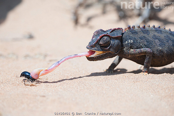 Desert Chameleon (Chamaeleo namaquensis) catching insect, Namib desert, Namibia  ,  catalogue6,CHAMAELEO NAMAQUENSIS,Animal,Vertebrate,Reptile,Squamate,Chameleon,Chameleons,Desert chameleon,Animalia,Animal,Wildlife,Vertebrate,Chordate,Reptilia,Reptile,Squamata,Squamate,Chamaeleonidae,Chameleon,Lizard,Chamaeleo,Chameleons,Chamaeleo namaquensis,Desert chameleon,Chamaeleo capensis,Catch,Catches,Skill,Two,No One,Nobody,Africa,Southern Africa,Namibia,South West Africa,Close Up,Side View,Desert,Deserts,Namib Desert,Outdoors,Open Air,Outside,Day,Food chain,Two animals,Namibian,,Skill, Efficiency,,,Lizard,  ,  Ben  Cranke