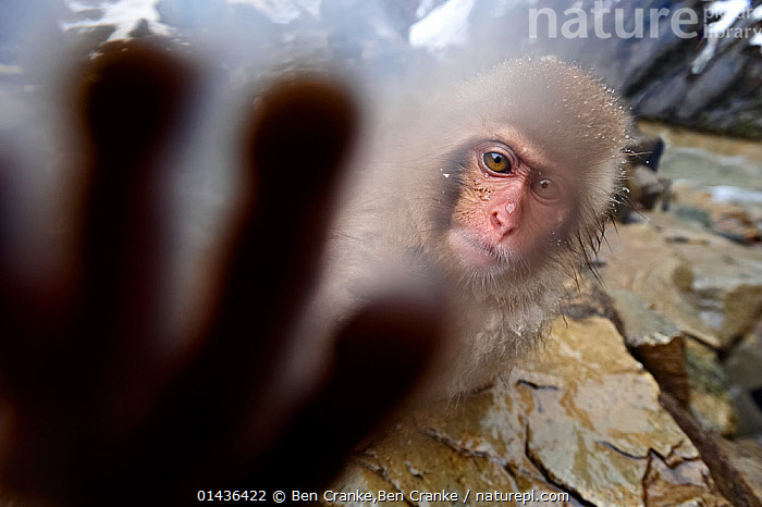 Japanese Macaque (Macaca fuscatata) juvenile, reaching out to touch the camera,  Jigokudani, Nagano Prefecture, Honshu, Japan, ASIA,biodiversity hotpsot,biodiversity hotspots,Cercopithecidae,HANDS,hot,inquisitve,JAPAN,JUVENILE,MACAQUES,MAMMALS,MONKEYS,PRIMATES,SNOW MONKEY,VERTEBRATES,YOUNG,catalogue6,MACACA FUSCATA,Animal,Vertebrate,Mammal,Monkey,Macaque,Japanese macaque,Animalia,Animal,Wildlife,Vertebrate,Chordate,Mammalia,Mammal,Primate,Primates,Cercopithecidae,Monkey,Old World Monkeys,Macaca,Macaque,Papionini,Macaca fuscata,Japanese macaque,Reaching,Reach,Reaches,Touching,Touch,Mischief,No One,Nobody,Asia,East Asia,Japan,Chubu,Nagano Prefecture,Close Up,Camera Focus,Selective Focus,Focus On Background,Focus On Backgrounds,Young Animal,Juvenile,Animal Limbs,Limb,Limbs,Animal Feet,Feet,Foot,Paw,Paws,Outdoors,Open Air,Outside,Day,Animal Behaviour,Playing,Behaviour,Young,Biodiversity hotspots,Biodiversity hotspot,Play,Playful,Direct Gaze,Shallow depth of field,Low depth of field,Camera Lens,Jigokudani,Communication,,Personal Point of View,,,Selfie,,,Rebel,, Ben Cranke,Ben  Cranke