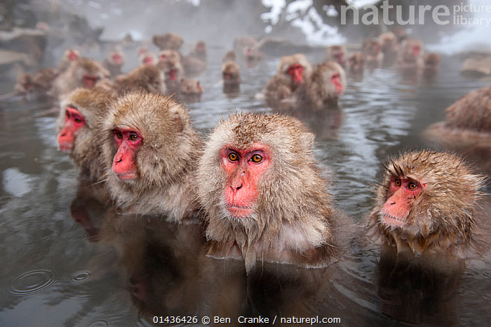 Japanese Macaques (Macaca fuscata) in hot springs, Jigokudani, Nagano Prefecture, Honshu, Japan, ASIA,BATHING,biodiversity hotpsot,biodiversity hotspots,Cercopithecidae,GEOTHERMAL,GROUPS,hot,JAPAN,MACAQUES,MAMMALS,MONKEYS,PRIMATES,SNOW MONKEY,springs,VERTEBRATES,WATER,wet high1314,MACACA FUSCATA,Animal,Vertebrate,Mammal,Monkey,Macaque,Japanese macaque,Animalia,Animal,Wildlife,Vertebrate,Mammalia,Mammal,Primate,Primates,Cercopithecidae,Monkey,Old World Monkeys,Macaca,Macaque,Papionini,Macaca fuscata,Japanese macaque,Waiting,Togetherness,Close,Together,Many,Group,Large Group,Nobody,Serious,Asia,East Asia,Japan,Chubu,Nagano Prefecture,Camera Focus,Selective Focus,Focus On Foreground,Focus On Foregrounds,Hair,Fur,Steam,Steaming,Outdoors,Open Air,Outside,Day,Water,Geothermal,Shallow depth of field,Low depth of field,Jigokudani,Animal Hair, Ben  Cranke