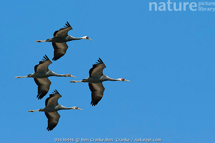 White naped cranes (Grus vipio) in flight, Kyushu, Japan  ,  ASIA,biodiversity hotspot,biodiversity hotspots,BIRDS,blue background,CRANES,CUTOUT,FLOCKS,FLYING,FOUR,GROUPS,JAPAN,VERTEBRATES,catalogue6,GRUS VIPIO,Animal,Vertebrate,Birds,Crane,White naped crane,Animalia,Animal,Wildlife,Vertebrate,Chordate,Aves,Birds,Gruiformes,Gruidae,Crane,Grus,Grus vipio,White naped crane,Japanese white necked crane,Flying,Moving After,Following,Follow,Follows,Determination,Direction,On The Move,Unity,Few,Four,Group,No One,Nobody,Streamlined,Asia,East Asia,Japan,Kyushu,Kyushu District,Kyushu Island,Coloured Background,Blue Background,Copy Space,Low Angle View,Wing,Wings,Sky,Clear Sky,Outdoors,Open Air,Outside,Day,Biodiversity hotspots,Biodiversity hotspot,Flight,Ventral view,Underside,Wings spread,Wingspan,Negative space,Four animals,Moving,Blue sky,Formation,Flight Formation,Endangered species,threatened,Vulnerable  ,  Ben Cranke,Ben  Cranke