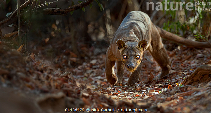 Adult male Fosa (Crytoprocta ferox) prowling on deciduous forest floor. Kirindy Forest, western Madagascar., catalogue6,Animal,Vertebrate,Mammal,Carnivore,Fossa,Animalia,Animal,Wildlife,Vertebrate,Chordate,Mammalia,Mammal,Carnivora,Carnivore,Eupleridae,Cryptoprocta,Fossa,Cryptoprocta ferox,Cryptoprocta typicus,Prowling,Determination,Stealth,Threat,Menace,Menaces,Menacing,Threatening,Threats,Meaness,Meanness,No One,Nobody,Africa,Southern Africa,Madagascar,Malagasy Republic,Republic of Madagascar,Male Animal,Plant,Leaf,Foliage,Outdoors,Open Air,Outside,Day,Woodland,Broadleaf woodland,Animal Behaviour,Predation,Forest,Deciduous,Behaviour,Biodiversity hotspots,Biodiversity hotspot,Forest floor,Fallen Leaves,Kirindy Forest,Endangered species,threatened,Vulnerable, Nick Garbutt