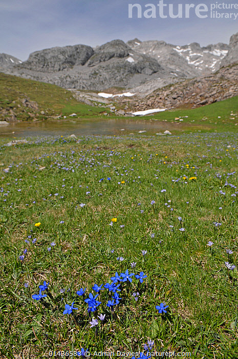 Spring Gentian (Gentiana verna) in flower in valley with snow and melt water from the mountains in the background, Picos de Europa, northern Spain. June.  ,  PLANTAE,PLANT,TRACHEOPHYTA,VASCULAR PLANT,MAGNOLIOPSIDA,FLOWERING PLANT,GENTIANALES,ASTERID,GENTIANACEAE,GENTIAN,GENTIANA,GENTIANA VERNA,SPRING GENTIAN,EUROPE,SOUTHERN EUROPE,SOUTH EUROPE,IBERIAN PENINSULA,SPAIN,ASTURIAS,VERTICAL,PLANTS,VEGETATION,PLANT PART,BLOOM,BLOOMING,BLOOMS,FLOWERING,FLOWERING PLANT,FLOWERING PLANTS,FLOWERS,MOUNTAIN,ALPINE,MOUNTAINOUS,MOUNTAINS,MOUNTAINSIDE,MOUNTAINSIDES,LANDSCAPE,LANDSCAPES,SCENIC,SEASON,SEASONS,SPRING,HABITAT,PLANT,VASCULAR PLANT,FLOWERING PLANT,ASTERID,GENTIAN,SPRING GENTIAN  ,  Adrian Davies