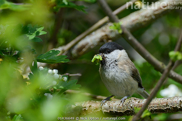 Marsh tit (Poecile palustris) with beakful of green caterpillars, Wiltshire hedgerow, UK, June.  ,  ANIMALIA,ANIMAL,VERTEBRATE,AVES,BIRDS,PASSERIFORMES,SONGBIRD,PARIDAE,TIT,POECILE,POECILE PALUSTRIS,MARSH TIT,EUROPE,WESTERN EUROPE,WEST EUROPE,UK,BRITAIN,GREAT BRITAIN,UNITED KINGDOM,ENGLAND,WILTSHIRE,HORIZONTAL,CATERPILLAR,CATERPILLARS,ANIMAL BEHAVIOUR,PREDATION,BEHAVIOUR,ANIMAL,VERTEBRATE,BIRDS,SONGBIRD,TIT,MARSH TIT,Larvae  ,  Nick Upton