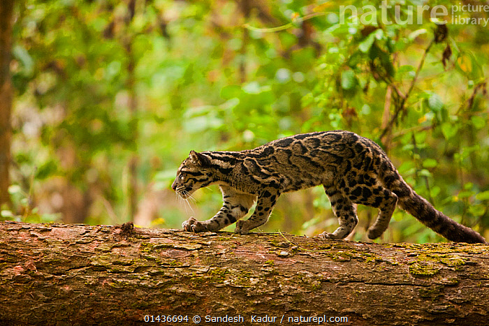 Clouded leopard (Neofelis nebulosa) walking along fallen tree trunk, Assam, India, captive. Vulnerable species.  ,  ASIA,assam,BIG-CATS,biodiversity hotspot,biodiversity hotspots,CARNIVORES,felidae,Himalaya,himalayas,india,INDIAN-SUBCONTINENT,LEOPARDS,MAMMALS,PROFILE,VERTEBRATES high1314,NEOFELIS NEBULOSA,Animal,Vertebrate,Mammal,Carnivore,Cat,Clouded leopard,Clouded Leopard,Animalia,Animal,Wildlife,Vertebrate,Mammalia,Mammal,Carnivora,Carnivore,Felidae,Cat,Neofelis,Clouded leopard,Neofelis nebulosa,Clouded Leopard,Prowling,Waiting,Alertness,Alert,Preparation,Stealth,Nobody,Pattern,Patterned,Patterns,Asia,Indian Subcontinent,India,Side View,Plant,Bark,Tree Trunk,Tree,Fallen Tree,Outdoors,Open Air,Outside,Day,Nature,Natural,Natural World,Endangered Species,Threatened,Animal Behaviour,Forest,Behaviour,Assam,Animal marking,Vulnerable species,Endangered species,threatened,Vulnerable  ,  Sandesh  Kadur