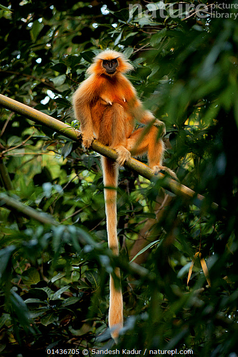 Golden Langur (Trachypithecus geei) in tree, Chakrashila, Assam, India. Endangered, ASIA,biodiversity hotspot,biodiversity hotspots,ENDANGERED,GEE'S GOLDEN LANGUR,Himalaya,himalayas,india,INDIAN-SUBCONTINENT,LANGURS,LEAF MONKEY,MAMMALS,MONKEYS,PRIMATES,VERTEBRATES,VERTICAL high1314,TRACHYPITHECUS GEEI,Animal,Vertebrate,Mammal,Monkey,Lutang,Gee's Golden Langur,Animalia,Animal,Wildlife,Vertebrate,Mammalia,Mammal,Primate,Primates,Cercopithecidae,Monkey,Old World Monkeys,Trachypithecus,Lutang,Trachypithecus geei,Gee's Golden Langur,Gee�s Golden Langur,Golden Leaf Monkey,Sitting,Suspicion,Colour,Orange,Nobody,Asia,Indian Subcontinent,India,Front View,View From Front,Plant,Branch,Branches,Leaf,Foliage,Hair,Fur,Tail,Outdoors,Open Air,Outside,Day,Forest,Conservation,Direct Gaze,Assam,Animal Hair,Chakrashila,Endangered species,threatened,Vulnerable, Sandesh  Kadur