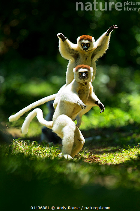 Verreaux Sifakas (Propithecus verreauxi) jumping ('dancing') across ground, Madagascar, 1dx,ACTION,andy,animal,dancing,EXPRESSIONS,fun,JUMPING,LEAPING,lemur,MADAGASCAR,rouse,sifaka,verreaux,catalogue6,Animal,Vertebrate,Mammal,Sifaka,Verreaux&#39,s sifaka,Animalia,Animal,Wildlife,Vertebrate,Chordate,Mammalia,Mammal,Primate,Primates,Indriidae,Prosimians,Propithecus,Sifaka,Propithecus verreauxi,Verreaux&#39,s sifaka,Propithecus majori,Propithecus verreauxoides,Jumping,Physical Activity,Agility,Agile,Mischief,Colour,White,Two,No One,Nobody,Africa,Madagascar,Malagasy Republic,Republic of Madagascar,Full Length,Full Lengths,Whole,Vertical,Close Up,Hair,Fur,Outdoors,Open Air,Outside,Day,Animal Behaviour,Playing,Behaviour,Biodiversity hotspots,Biodiversity hotspot,Play,Playful,Two animals,Direct Gaze,White colour,Endangered species,threatened,Vulnerable,Communication,Mammals,,Rebel, Andy Rouse