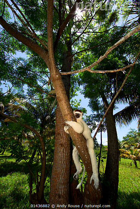 Verreaux Sifaka (Propithecus verreauxi) in forest, Madagascar, catalogue6,Animal,Vertebrate,Mammal,Sifaka,Verreaux&#39,s sifaka,Animalia,Animal,Wildlife,Vertebrate,Chordate,Mammalia,Mammal,Primate,Primates,Indriidae,Prosimians,Propithecus,Sifaka,Propithecus verreauxi,Verreaux&#39,s sifaka,Propithecus majori,Propithecus verreauxoides,Hanging,Laziness,Lazy,Lethargic,Lethargy,Relaxation,No One,Nobody,Africa,Madagascar,Malagasy Republic,Republic of Madagascar,Full Length,Full Lengths,Whole,Vertical,Plant,Tree Trunk,Tree,Outdoors,Open Air,Outside,Day,Woodland,Forest,Biodiversity hotspots,Biodiversity hotspot,Endangered species,threatened,Vulnerable,Mammals, Andy Rouse