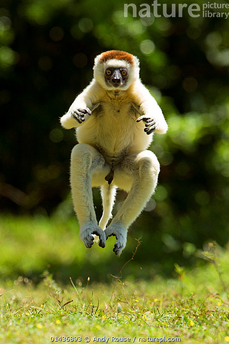 Verreaux Sifaka (Propithecus verreauxi) jumping ('dancing') across ground, Madagascar, 1dx,ACTION,andy,animal,ATMOSPHERIC,dancing,EXPRESSIONS,fun,JUMPING,LEAPING,lemur,MADAGASCAR,rouse,sifaka,verreaux,catalogue6,Animal,Vertebrate,Mammal,Sifaka,Verreaux&#39,s sifaka,Animalia,Animal,Wildlife,Vertebrate,Chordate,Mammalia,Mammal,Primate,Primates,Indriidae,Prosimians,Propithecus,Sifaka,Propithecus verreauxi,Verreaux&#39,s sifaka,Propithecus majori,Propithecus verreauxoides,Jumping,Physical Activity,Agility,Agile,Humorous,Craziness,Crazy,Colour,White,Mid Air,No One,Nobody,Africa,Madagascar,Malagasy Republic,Republic of Madagascar,Full Length,Full Lengths,Whole,Vertical,Front View,View From Front,Male Animal,Hair,Fur,Outdoors,Open Air,Outside,Day,Animal Behaviour,Behaviour,Biodiversity hotspots,Biodiversity hotspot,Direct Gaze,White colour,Endangered species,threatened,Vulnerable,Concepts,Mammals,,Rebel, Andy Rouse