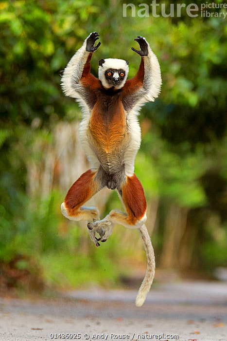 Coquerel's Sifaka (Propithecus coquereli) jumping, Palmarium Reserve, Madagascar, 1dx,ACTION,andy,animal,coquerel,coquerels,EXPRESSIONS,fun,JUMPING,LEAPING,lemur,MADAGASCAR,palmarium,rouse,sifaka,catalogue6,Animal,Vertebrate,Mammal,Sifaka,Coquerel&#39,s Sifaka,Animalia,Animal,Wildlife,Vertebrate,Chordate,Mammalia,Mammal,Primate,Primates,Indriidae,Prosimians,Propithecus,Sifaka,Propithecus coquereli,Coquerel&#39,s Sifaka,Propithecus damonis,Gesturing,Arms Raised,Jumping,Agility,Agile,Humorous,Mischief,Craziness,Crazy,Colour,Brown,No One,Nobody,Africa,Madagascar,Malagasy Republic,Republic of Madagascar,Full Length,Full Lengths,Whole,Vertical,Front View,View From Front,Hair,Fur,Road,Outdoors,Open Air,Outside,Day,Animal Behaviour,Behaviour,Biodiversity hotspots,Biodiversity hotspot,Concepts,Mammals, Andy Rouse