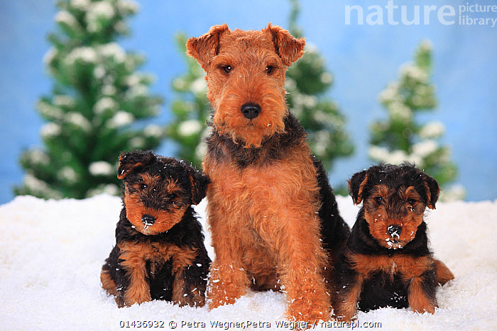 Welsh Terrier, bitch with puppies aged 8 weeks  in snowy scene., catalogue6,Canis familiaris,Sitting,Seated,Sit,Sits,Sitting Down,Protection,Colour,Brown,Side By Side,Few,Three,Group,No One,Nobody,Pattern,Patterned,Patterns,Horizontal,Front View,View From Front,Portrait,Animal,Young Animal,Juvenile,Babies,Baby Mammal,Baby Mammals,Puppy,Puppies,Female animal,Bitch,Bitches,Snow,Outdoors,Open Air,Outside,Season,Seasons,Winter,Day,Domestic animal,Pet,Family,Mother baby,Mother baby,mother,Domestic Dog,Terrier,Medium Dog,Welsh Terrier,Domestic animals,Young,Domesticated,Canis familiaris,Dog,Baby,Direct Gaze,Parent baby,Three Animals,Animal marking, Petra Wegner,Petra Wegner