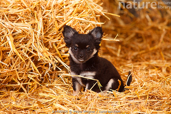 Chihuahua, longhaired  puppy sitting on hay bale in straw, 1 ANIMAL,EYE CONTACT,LOOKING TO CAMERA,LOOKING TOWARDS CAMERA,LOOKING TOWARDS THE CAMERA,LOOKS AT CAMERA,LOOKS TOWARDS CAMERA,LOOKS TOWARDS THE CAMERA,HORIZONTAL,PORTRAIT,PORTRAITS,ANIMAL,CREATURE,CREATURES,YOUNG ANIMAL,JUVENILE,JUVENILES,YOUNG ANIMALS,BABIES,BABY ANIMALS,BABY MAMMAL,BABY MAMMALS,PUPPY,PUPPIES,PLANTS,VEGETATION,HAY,DOMESTIC ANIMAL,PET,DOG,TOY DOG,SMALL DOG,CHIHUAHUA,DOMESTIC ANIMALS,DOMESTIC BREED,DOMESTIC BREEDS,YOUNG,COMPANION ANIMALS,COMPANION ANIMAL,DOMESTICATED,DOGS,TOY DOGS,SMALL DOGS,PETS, Petra Wegner