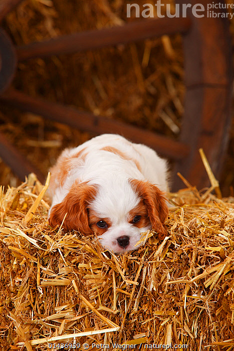 Cavalier King Charles Spaniel, puppy aged 7 weeks with blenheim colouration, resting on hay bale in straw  ,  catalogue6,Canis familiaris,Resting,Rest,Loneliness,Lonely,Inside,No One,Nobody,Vertical,Close Up,Portrait,Animal,Young Animal,Juvenile,Babies,Baby Mammal,Baby Mammals,Puppy,Puppies,Brown Eyes,Brown Eye,Building,Agricultural Building,Barn,Barns,Day,Domestic animal,Pet,Domestic Dog,Toy dog,Small dog,Cavalier King Charles Spaniel,Domestic animals,Young,Domesticated,Canis familiaris,Dog,Baby,Direct Gaze,Cart Wheel  ,  Petra Wegner