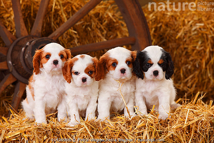 Cavalier King Charles Spaniel puppies aged 7 weeks, with tricolour and blenheim colouration, on hay bale in straw, catalogue6,Canis familiaris,Sitting,Seated,Sit,Sits,Sitting Down,Cute,Adorable,Uncertain,Unsure,Arrangement,In A Row,Suspicion,Inside,Side By Side,Few,Four,Group,No One,Nobody,Horizontal,Portrait,Animal,Young Animal,Juvenile,Babies,Baby Mammal,Baby Mammals,Puppy,Puppies,Hay,Building,Agricultural Building,Barn,Barns,Day,Domestic animal,Pet,Domestic Dog,Toy dog,Small dog,Cavalier King Charles Spaniel,Domestic animals,Young,Domesticated,Canis familiaris,Dog,Baby,Direct Gaze,Four animals,Tricolour,Blenheim,Lined up,Cart Wheel, Petra Wegner,Petra Wegner