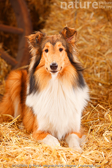 Rough Collie, bitch, 9 months in straw, catalogue6,Canis familiaris,No One,Nobody,Pattern,Patterned,Patterns,Vertical,Front View,View From Front,Portrait,Animal,Female animal,Bitch,Bitches,Hay,Building,Agricultural Building,Barn,Barns,Indoors,Day,Domestic animal,Pet,Domestic Dog,Pastoral Dog,Medium dog,Collie,Domestic animals,Long Haired Collie,Rough collie,Domesticated,Canis familiaris,Dog,Direct Gaze,Animal marking, Petra Wegner,Petra Wegner