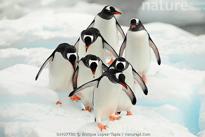 Gentoo penguins (Pygoscelis papua) group walking along snow, Cuverville Island. Antarctic Peninsula, Antarctica, high1314,Animal,Vertebrate,Bird,Birds,Penguin,Gentoo penguin,Animalia,Animal,Wildlife,Vertebrate,Aves,Bird,Birds,Sphenisciformes,Penguin,Seabird,Spheniscidae,Pygoscelis,Pygoscelis papua,Gentoo penguin,Moving After,Following,Follow,Follows,Walking,On The Move,Hierarchies,Progress,Togetherness,Close,Together,Unity,Nobody,Pattern,Patterned,Patterns,Antarctica,Antarctic,Polar,Horizontal,High Angle View,Outdoors,Open Air,Outside,Day,Nature,Natural,Natural World,Wild,Elevated view,Moving,Animal marking,Careful,Cuverville Island,Marine bird,Marine birds,Pelagic bird,Pelagic birds,Flightless,Hierarchy,Hierarchical,,Nature reclamation,,Rebel, Enrique Lopez-Tapia