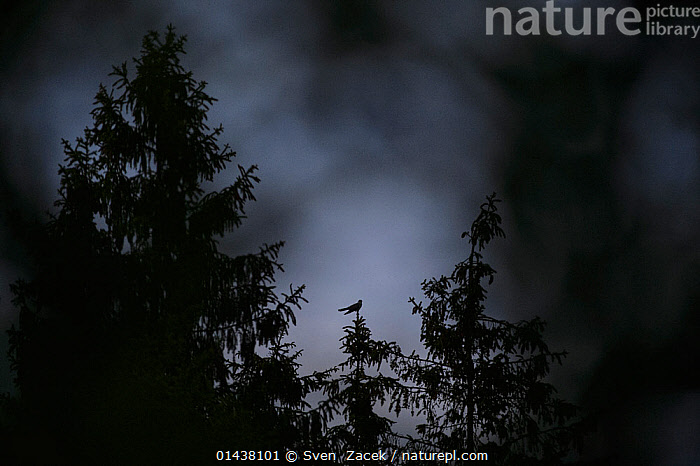 Common cuckoo (Cuculus canorus) perched in Spruce tree top after sunset, Southern Estonia, June., catalogue6,CUCULUS CANORUS,Animal,Vertebrate,Birds,Cuckoo,European cuckoo,Animalia,Animal,Wildlife,Vertebrate,Chordate,Aves,Birds,Cuculiformes,Cuculidae,Cuckoo,Cuculus,Cuculus canorus,European cuckoo,Common cuckoo,Grey cuckoo,Eurasian cuckoo,Alone,Solitude,Solitary,Vulnerability,Vulnerable,Vunerability,Vunerable,No One,Nobody,Size,Small,Little,Tiny,Back Lit,Backlit,Plant,Treetop,Treetops,Tree,Evergreen Tree,Spruce Tree,Spruce,Spruce Trees,Spruces,Outdoors,Open Air,Outside,Night,Perching,Insignificant, Sven  Zacek
