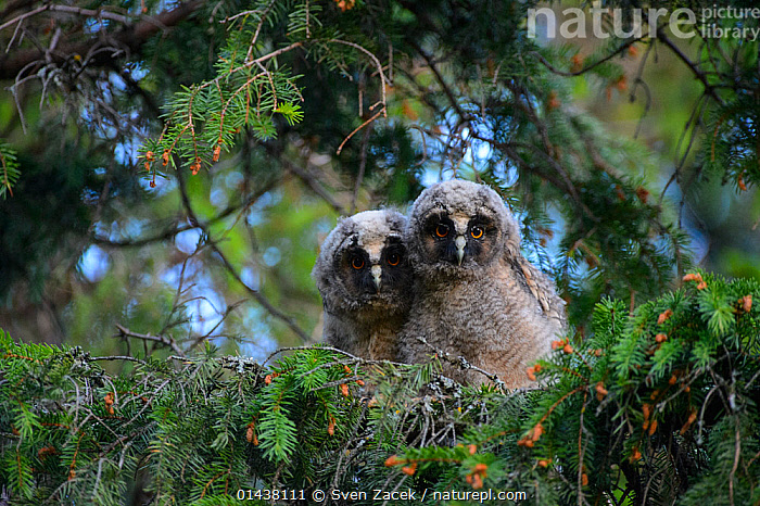 Two Long-eared owls (Asio otus) chicks in a spruce tree, Southern Estonia, June.  ,  BABIES,BALTIC,BIRDS,BIRDS OF PREY,CHICKS,EASTERN EUROPE,ESTONIA,EUROPE,NORTHERN EUROPE,OWLS,STRIGIDAE,TWO,VERTEBRATES,YOUNG,Raptor  ,  Sven Zacek
