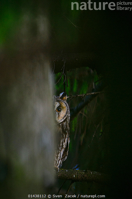 Female Long-eared owl (Asio otus) peeking from behind a spruce tree, Southern Estonia, June.  ,  catalogue6,ASIO OTUS,Animal,Vertebrate,Birds,Owl,True owl,Long eared owl,Animalia,Animal,Wildlife,Vertebrate,Chordate,Aves,Birds,Strigiformes,Owl,Bird of prey,Strigidae,True owl,Typical owl,Striginae,Asio,Asio otus,Long eared owl,Northern long eared owl,Common long eared owl,Strix otus,Alertness,Alert,Caution,Uncertain,Indecisive,Unsure,Vision,No One,Nobody,Part Of,Europe,Eastern Europe,East Europe,Baltic Countries,Baltic States,Estonia,Front View,View From Front,Camera Focus,Selective Focus,Focus On Background,Focus On Backgrounds,Female animal,Plant,Tree,Evergreen Tree,Spruce Tree,Spruce,Spruce Trees,Spruces,Animal Eye,Animal Eyes,Eye,Eyes,Outdoors,Open Air,Outside,Night,Eyesight,Sight,Woodland,Forest,Shallow depth of field,Low depth of field  ,  Sven  Zacek