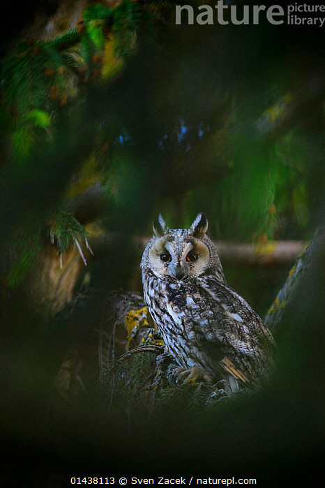 Female Long-eared owl (Asio otus) perched on  spruce tree, SouthernEstonia, June.  ,  BALTIC,BIRDS,BIRDS OF PREY,EASTERN EUROPE,ESTONIA,EUROPE,FEMALES,NORTHERN EUROPE,OWLS,STRIGIDAE,VERTEBRATES,Raptor  ,  Sven Zacek