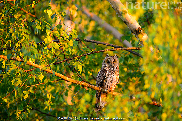 Female Long-eared owl (Asio otus) perched in  birch tree in evening light, Southern Estonia, June.  ,  BALTIC,BIRDS,BIRDS OF PREY,EASTERN EUROPE,ESTONIA,EUROPE,FEMALES,NORTHERN EUROPE,OWLS,STRIGIDAE,TREES,VERTEBRATES,PLANTS,Raptor  ,  Sven Zacek