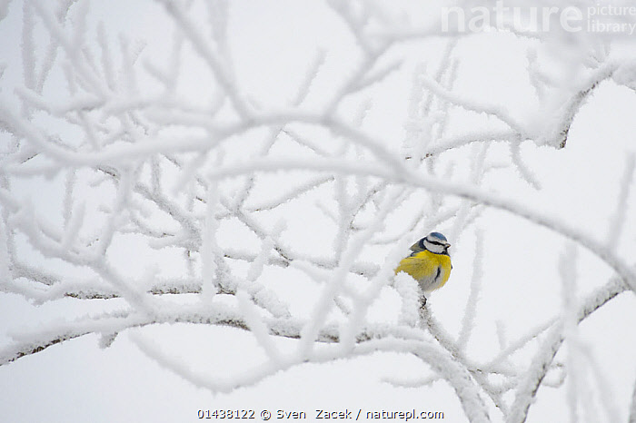 Blue tit (Parus caeruleus) perched on a frosty tree, Southern Estonia, January.  ,  catalogue6,CYANISTES CAERULEUS,Animal,Vertebrate,Birds,Songbird,Tit,Blue tit,Animalia,Animal,Wildlife,Vertebrate,Chordate,Aves,Birds,Passeriformes,Songbird,Passerine,Paridae,Tit,Cyanistes,Cyanistes caeruleus,Blue tit,Common blue tit,Parus caeruleus,Waiting,Resilience,Resilient,Patience,Alone,Solitude,Solitary,Colour,White,Yellow,No One,Nobody,Temperature,Cold,Chill,Chilly,Plant,Branch,Branches,Tree,Weather,Frost,Outdoors,Open Air,Outside,Winter,Day,Cold Weather  ,  Sven  Zacek