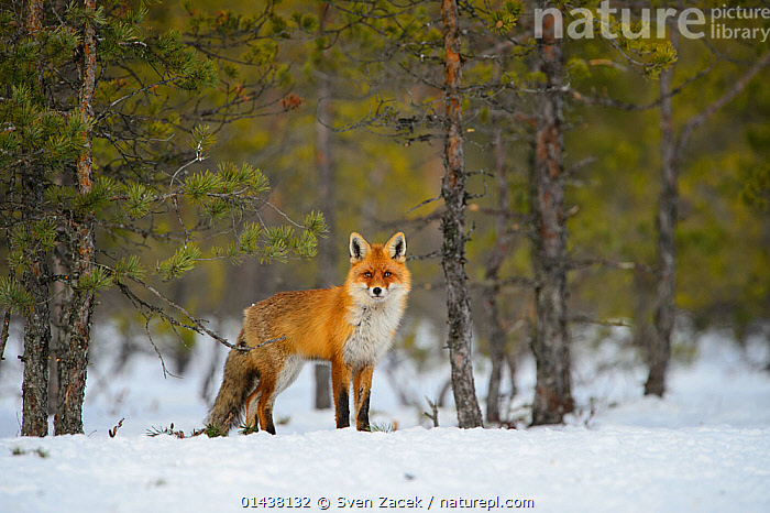 Red fox (Vulpes vulpes) in a snowy clearing, Southern Estonia, February.  ,  BALTIC,BOGS,CANIDAE,CANIDS,CARNIVORES,COLD,EASTERN EUROPE,ESTONIA,EUROPE,FORESTS,FOXES,HABITAT,LOOKING AT CAMERA,MAMMALS,NORTHERN EUROPE,SNOW,VERTEBRATES,WETLANDS,WINTER,Dogs  ,  Sven Zacek