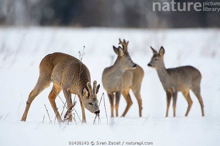 Roe Deer (Capreolus capreolus) male eating dried stem in  snowy field, Southern Estonia, March.  ,  ARTIODACTYLA,BALTIC,CERVIDAE,DEER,EASTERN EUROPE,ESTONIA,EUROPE,FEEDING,MALES,MAMMALS,NORTHERN EUROPE,SNOW,THREE,VERTEBRATES,WINTER  ,  Sven Zacek