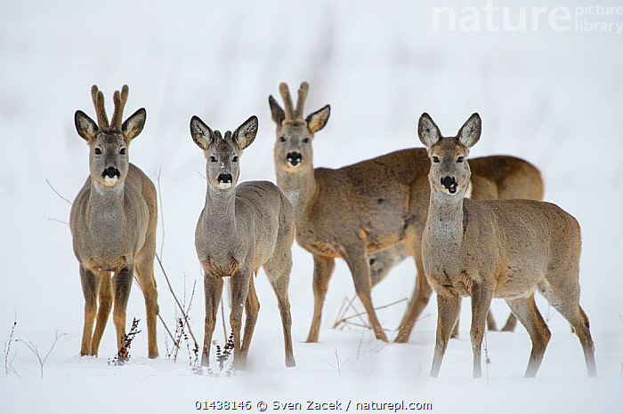 Roe deer (Capreolus capreolus) feeding on a snowy field, Southern Estonia, March.  ,  ARTIODACTYLA,BALTIC,Cervidae,DEER,EASTERN-EUROPE,Estonia,EUROPE,FOUR,GROUPS,Herds,looking at camera,MAMMALS,northern-europe,SNOW,VERTEBRATES,WINTER high1314,CAPREOLUS CAPREOLUS,Animal,Vertebrate,Mammal,Deer,Roe deer,Animalia,Animal,Wildlife,Vertebrate,Mammalia,Mammal,Artiodactyla,Even-toed ungulates,Cervidae,Deer,True deer,ruminantia,Ruminant,Capreolus,Roe deer,Capreolus capreolus,Standing,Alertness,Alert,Togetherness,Close,Together,Trust,Trustful,Trusting,Colour,Brown,Few,Four,Group,Nobody,Europe,Eastern Europe,East Europe,Baltic Countries,Baltic States,Estonia,Front View,View From Front,Snow,Outdoors,Open Air,Outside,Winter,Day,Nature,Natural,Natural World,Wild,Direct Gaze,Four animals,Brown Colour  ,  Sven  Zacek
