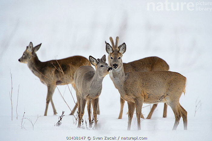 A young Roe Deer buck (Capreolus capreolus) sniffing  female in snowy field, Southern Estonia, March.  ,  2013,ARTIODACTYLA,BALTIC,CERVIDAE,DEER,EASTERN EUROPE,ESTONIA,EUROPE,FEMALES,GROUPS,MAMMALS,NORTHERN EUROPE,SNOW,TARTUMAA,VERTEBRATES,WINTER  ,  Sven Zacek