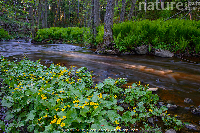 Marsh marigold (Caltha palustris) in bloom at the edge of a forest river, Northern Estonia, May.  ,  BALTIC,DICOTYLEDONS,EASTERN EUROPE,ESTONIA,EUROPE,FLOWERS,FORESTS,FRESHWATER,HABITAT,KINGCUP,PLANTS,RANUNCULACEAE,RIVERS,WATER,WOODLANDS  ,  Sven Zacek