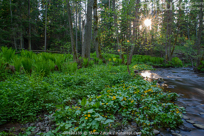 Marsh marigold (Caltha palustris) in bloom at the edge of a forest river, Northern Estonia, May.  ,  BALTIC,DICOTYLEDONS,EASTERN EUROPE,ESTONIA,EUROPE,FORESTS,FRESHWATER,HABITAT,KINGCUP,PLANTS,RANUNCULACEAE,RIVERS,SUN RAYS,SUNSHINE,WATER,WOODLANDS  ,  Sven Zacek