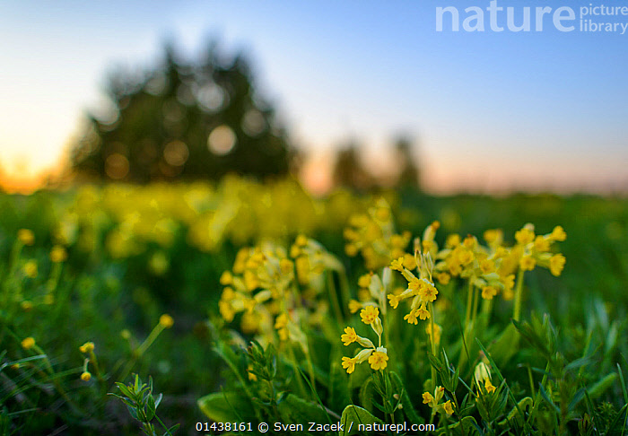 Cowslips (Primula veris) in bloom, Northern Estonia, May.  ,  BALTIC,DICOTYLEDONS,EASTERN EUROPE,ESTONIA,EUROPE,FLOWERS,PLANTS,PRIMULACEAE,YELLOW  ,  Sven Zacek
