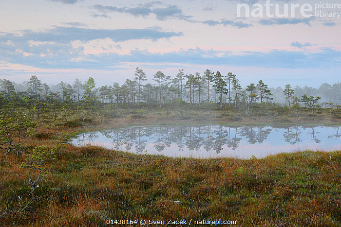 Light fog over bog pools surrounded by pine (Pinus sylvestris) trees, before sunrise, Southern Estonia, May 2012  ,  ATMOSPHERIC,BALTIC,BOGS,CALM,EASTERN EUROPE,ESTONIA,EUROPE,LANDSCAPES,PEACEFUL,PINES,REFLECTIONS,SCOT PINE,SCOT'S PINE,TREES,WETLANDS,PLANTS  ,  Sven Zacek