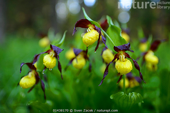 Lady's slipper orchids (Cypripedium calceolus) in bloom after spring rain, Northern Estonia, May.  ,  BALTIC,EASTERN EUROPE,ESTONIA,EUROPE,FLOWERS,MONOCOTYLEDONS,ORCHIDACEAE,ORCHIDS,PLANTS,YELLOW  ,  Sven Zacek