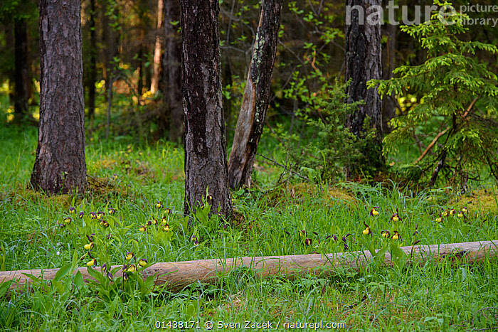 Lady's slipper orchids (Cypripedium calceolus) in bloom after spring rain surrounded by pine trees, Northern Estonia, May.  ,  BALTIC,CONIFERS,EASTERN EUROPE,ESTONIA,EUROPE,FLOWERS,FORESTS,HABITAT,MONOCOTYLEDONS,ORCHIDACEAE,ORCHIDS,PINES,PLANTS,TREES,WOODLANDS,YELLOW  ,  Sven Zacek
