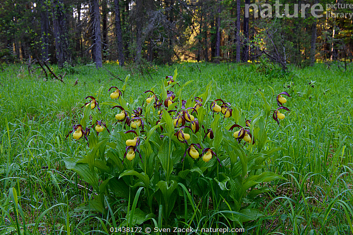 Lady's slipper orchids (Cypripedium calceolus) in bloom after spring rain surrounded by pine and spruce trees, Northern Estonia, May.  ,  BALTIC,EASTERN EUROPE,ESTONIA,EUROPE,FLOWERS,HABITAT,MONOCOTYLEDONS,ORCHIDACEAE,ORCHIDS,PLANTS,YELLOW  ,  Sven Zacek