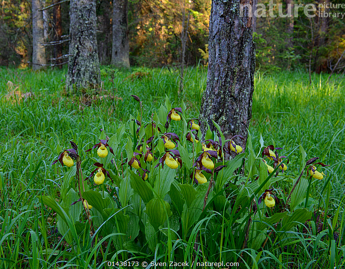 Lady's slipper orchids (Cypripedium calceolus) in bloom after spring rain surrounded by pine trees, Northern Estonia, May.  ,  BALTIC,EASTERN EUROPE,ESTONIA,EUROPE,FLOWERS,FORESTS,HABITAT,MONOCOTYLEDONS,ORCHIDACEAE,ORCHIDS,PLANTS,TREES,TRUNKS,YELLOW  ,  Sven Zacek