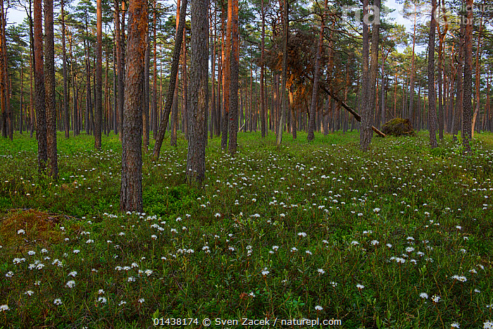 Marsh labrador tea (Rhododendron tomentosum) in bloom in bog pine (Pinus sylvestris) forest, Southern Estonia, May.  ,  BALTIC,BOGS,CONIFEROUS,CONIFERS,DICOTYLEDONS,EASTERN EUROPE,ERICACEAE,ESTONIA,EUROPE,FLOWERS,FORESTS,PLANTS,SCOT PINE,SCOT'S PINE,TREES,WETLANDS,WHITE,WOODLANDS  ,  Sven Zacek