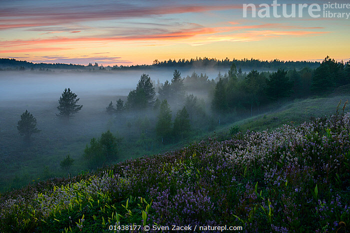 Summer evening with low lying fog after sunset, Northern Estonia, August 2012  ,  BALTIC,EASTERN EUROPE,ESTONIA,EUROPE,FORESTS,LANDSCAPES,MIST,SUNSET,TREES,PLANTS  ,  Sven Zacek