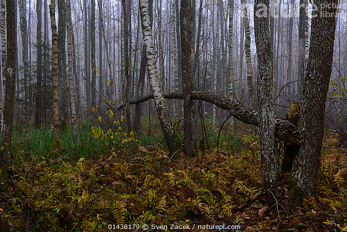 Autumn fog in a Birch forest in Tartumaa county, South Estonia, October  ,  BALTIC,BETULA,EASTERN EUROPE,ESTONIA,EUROPE,FOG,FORESTS,MIST,TREES,TRUNKS,PLANTS  ,  Sven Zacek