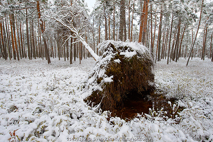 Fallen Pine tree after fresh snow, Southern Estonia, October  ,  BALTIC,BOGS,CONIFERS,EASTERN EUROPE,ESTONIA,EUROPE,FORESTS,GYMNOSPERMS,PINACEAE,PINES,PLANTS,SNOW,TREES,WINTER,Wetlands  ,  Sven Zacek