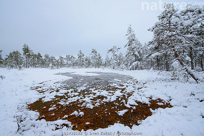 First snow in a bog in late October, Southern Estonia, October 2012  ,  BALTIC,BOGS,COLD,EASTERN EUROPE,ESTONIA,EUROPE,LANDSCAPES,SNOW,TREES,WETLANDS,WINTER,PLANTS  ,  Sven Zacek
