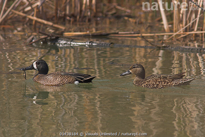 Blue Winged Teal (Anas discors) male and female on water, Costa Rica  ,  BIRDS,CENTRAL AMERICA,DUCKS,MALE FEMALE PAIR,PAIR,PROFILE,TROPICS,VERTEBRATES,WATER,WATERFOWL,WETLANDS  ,  Visuals Unlimited