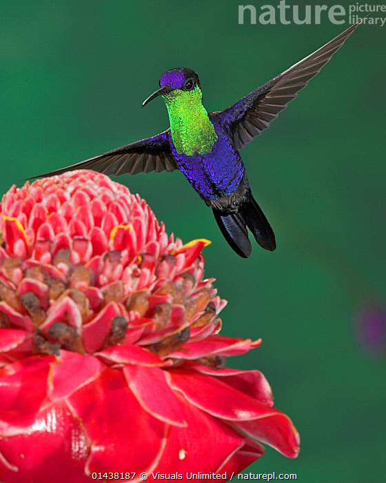 Crowned WoodNymph (Thalurania colombica) hovering near flower, Costa Rica  ,  BEHAVIOUR,BIRDS,CENTRAL AMERICA,COLOURFUL,COPYSPACE,FLIGHT,FLOWERS,FLYING,HOVERING,HUMMINGBIRDS,IRRIDESCENT,PLANTS,PORTRAITS,TROPICS,VERTEBRATES,VERTICAL,WINGS  ,  Visuals Unlimited