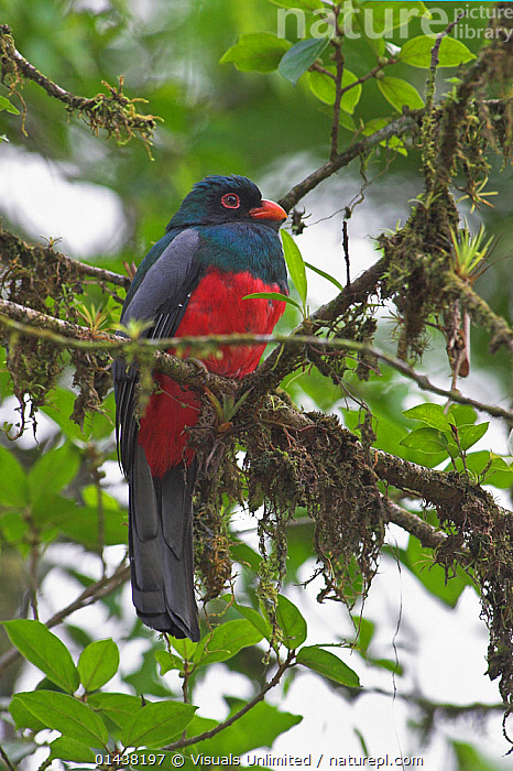 Slaty-tailed Trogon (Trogon massena) male perched in tree, Costa Rica  ,  BIRDS,CENTRAL AMERICA,MALES,TREES,TROGONS,TROPICS,VERTEBRATES,VERTICAL,PLANTS  ,  Visuals Unlimited