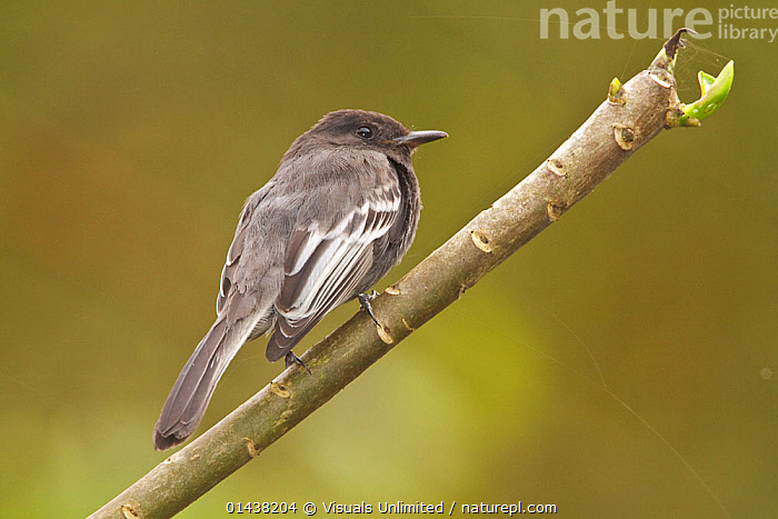Black Phoebe (Sayornis nigricans) perched on a branch in the Tandayapa Valley of Ecuador.  ,  BIRDS,COPYSPACE,CUTOUT,FLYCATCHERS,PORTRAITS,PROFILE,SONGBIRDS,SOUTH AMERICA,TROPICS,TYRANNIDAE,VERTEBRATES  ,  Visuals Unlimited
