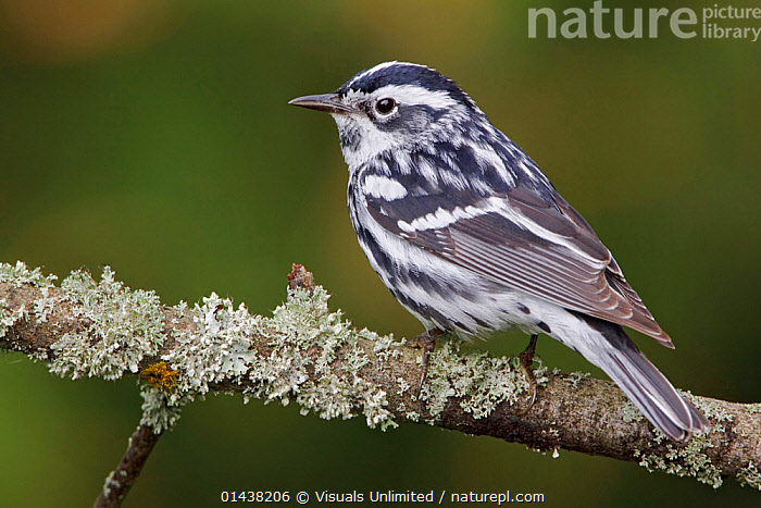 Black and White Warbler (Mniotilta varia) perched on a branch, Ontario, Canada.  ,  BIRDS,CANADA,CUTOUT,NORTH AMERICA,PARULIDAE,PORTRAITS,PROFILE,SONGBIRDS,VERTEBRATES,WARBLERS  ,  Visuals Unlimited