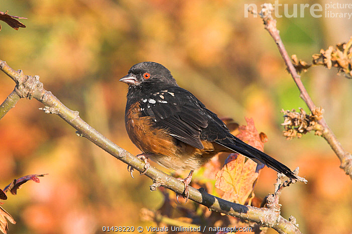 Spotted Towhee (Pipilo maculatus), Victoria, British Columbia, Canada.  ,  BIRDS,CANADA,EMBERIZIDAE,NORTH AMERICA,PORTRAITS,PROFILE,SONGBIRDS,TOWHEES,VERTEBRATES  ,  Visuals Unlimited